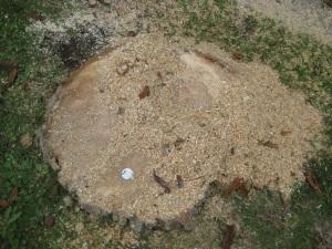 Horsechestnut Grave-stump #2